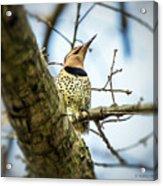 Northern Flicker - Woodpecker Acrylic Print