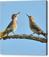 Northern Flickers Communicate Acrylic Print