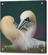 Northern Gannets Acrylic Print