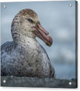 Northern Giant Petrel Sitting On Sandy Beach Acrylic Print