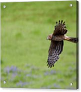 Northern Harrier Fly By Acrylic Print