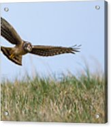 Northern Harrier Hawk Scouring The Field Acrylic Print