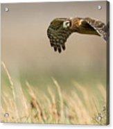 Northern Harrier Hawk Skimming The Fields Acrylic Print