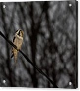 Northern Hawk-owl 22 Acrylic Print