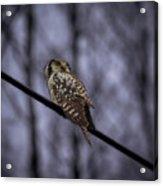 Northern Hawk-owl 6 Acrylic Print