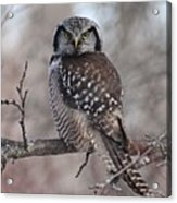 Northern Hawk Owl 9470 Acrylic Print