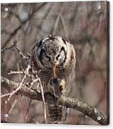 Northern Hawk Owl Having Lunch 9416 Acrylic Print