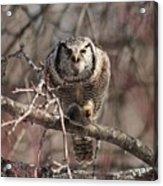 Northern Hawk Owl Having Lunch 9417 Acrylic Print