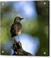 Northern Mockingbird At Quarry Lake Acrylic Print