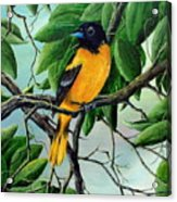 Northern Oriole Acrylic Print