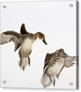 Northern Pintail Anas Acuta Duck Acrylic Print