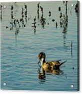 Northern Pintail At The Wetlands Acrylic Print