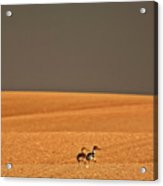 Northern Pintail Pair Out Walking In Saskatchewan Field Acrylic Print