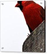 Northern Red Cardinal Acrylic Print