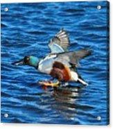 Northern Shoveler Duck Landing Acrylic Print