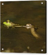 Northern Water Snake Eating Frog Acrylic Print
