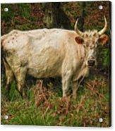 Northumberland Wild Cattle Acrylic Print