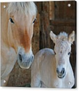 Norwegian Fjord Horse And Colt 1 Acrylic Print