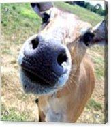 Nosey Cow Acrylic Print