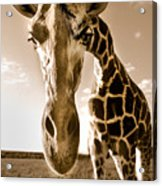 Nosey Giraffe Acrylic Print