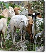 Nosy Sheep Acrylic Print