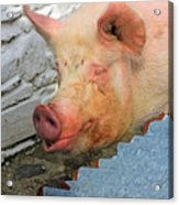 Not A Piglet Anymore Acrylic Print