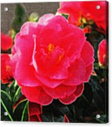 Not A Rose Acrylic Print