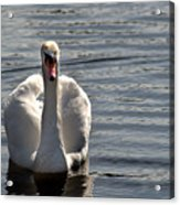 Not Another Swan Acrylic Print
