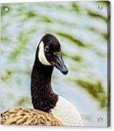 Not Grey Goose Acrylic Print