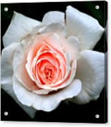 Not So Perfect White Rose Acrylic Print