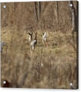 Nothing But White Tails Acrylic Print