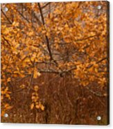 November Oak Acrylic Print