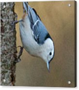 Nuthatch In Profile Acrylic Print