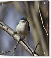 Nuthatch On Perch Acrylic Print