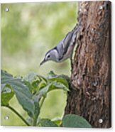 Nuthatch On The Move Acrylic Print