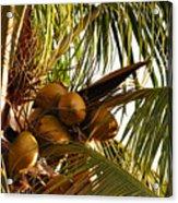 Nuts On Tree  Acrylic Print