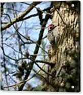 Nuttalls Woodpecker  Acrylic Print