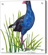 Nz Native Pukeko Bird Acrylic Print