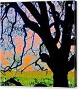 Oak At Elkhorn Acrylic Print