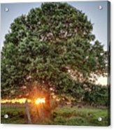 Oak At Sunset Acrylic Print