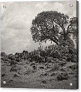 Oak In Rock Field Acrylic Print