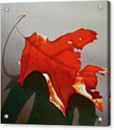 Oak Leaf 1 Acrylic Print by Timothy Jones