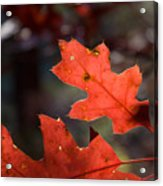 Oak Leaves Aglow Acrylic Print