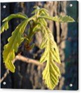 Oak Leaves In May Dawn Light Acrylic Print