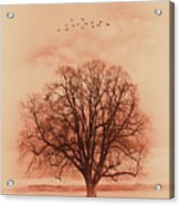Oak Tree Alone  Acrylic Print