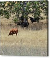 Oak Tree And The Cows Acrylic Print