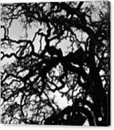 Oak Tree In Winter Detail - Amador County, California Acrylic Print
