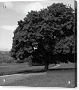 Oak Tree - Killarney National Park Acrylic Print