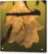 Oak Tree Leaf Acrylic Print