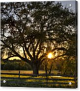 Oak Tree Sunset Acrylic Print